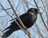 20080403 129 Crow SERIES.jpg