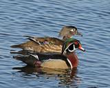 20080407 305 Wood Ducks SERIES.jpg