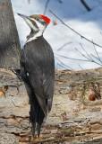 20080402 676 Pileated Woodpecker SERIES.jpg