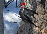20080402 558 Pileated Woodpecker SERIES.jpg