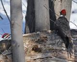 20080402 504 Pileated Woodpeckers SERIES.jpg
