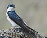20080425 030 Tree Swallow.jpg