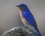 20080425 015 Eastern Bluebird.jpg