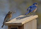 20080425 172 Eastern Bluebirds.jpg