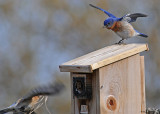 20080425 266 Eastern Bluebirds SERIES.jpg