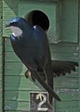 20080425 333 Tree Swallow SERIES.jpg