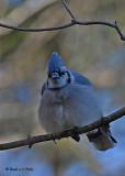 20071110 011 Blue Jay.jpg