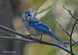 20071110 023 Blue Jay.jpg