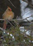 20071205 182 Northern Cardinal xxx.jpg