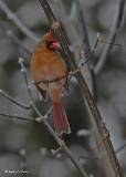 20071205 201 Northern Cardinal (female)2 xxx.jpg