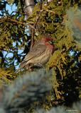 20071210 032 House Finch (male)1 xxx.jpg