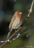 20071210 066 House Finch (male) xxx.jpg