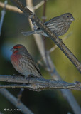 20071210 072 House Finch (male & female) xxx.jpg