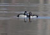 20080418 476 Ring-necked Ducks xxx.jpg