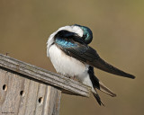 20080425 148 Tree Swallow xxx.jpg