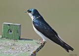 20080425 330 Tree Swallow xxx.jpg
