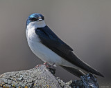 20080425 476 Tree Swallow2 xxx.jpg