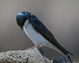 20080425 497 Tree Swallow2 xxx.jpg