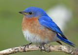 20080502 141 Eastern Bluebird.jpg