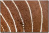 Eastern Bongo (Tragelaphus eurycerus isaaci)