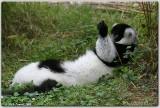 Lemur in unusual pose