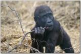 Juveline Western Lowland Gorilla