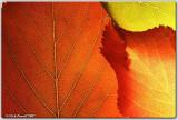 Back-lit Leaves