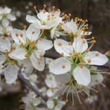 Epine noire / Prunellier