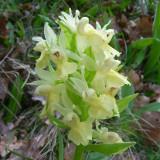 Orchis à odeur de sureau