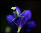 Mantis and Flower