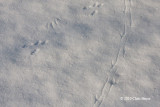 American Crow & Eastern Gray Squirrel tracks