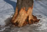 Beaver Damage