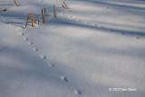 Get Ready, Get Set, Go!(Meadow Vole Tracks)
