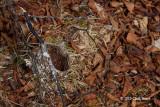 Cup Nest (American Redstart?)