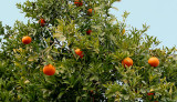Orange tree in the grounds