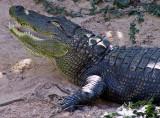 Never smile at a crocodile!
