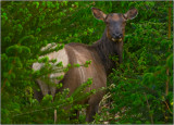 An Elk in Olympic National Park