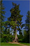 World's Largest Spruce Tree