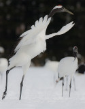 Japanese Red-crowned Crane