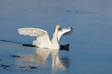 2.Whooper Swan breaks the ice