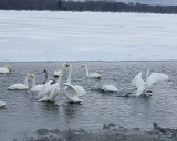 2.Swan fight between 2 groups