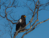 Steller's Sea Eagle on land