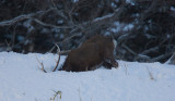 Sitka Deer goes down for food