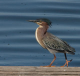 Green Heron with wind blown top knot