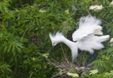 Snowy Egret and eggs