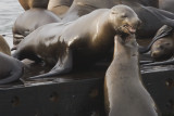 Juvenile Sea Lion takes on adult for space on pier