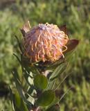 Flower at UCSC Arboritum