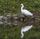 Snowy Egret with reflections
