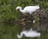 Snowy Egret with golden foot