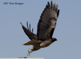 3.Red-tailed Hawk Flight Sequence
